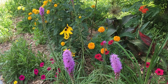 Purple Liatris, Golden Zinnias, Red Velour Petunias, Canna all bloom in great profusion at the Rotary.