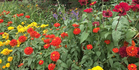 Zinnias flowers red yellow blooming at Purity Point Summer 2019 route 13 Community Beautification