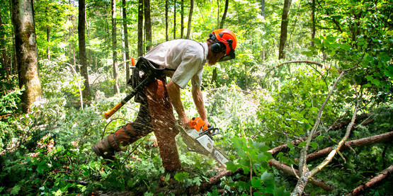 Logging crews work to thin the forest canopy in order to allow more light, enabling new tree growth and allowing a diversity of species to take root.