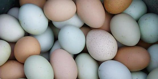 varied color chicken eggs