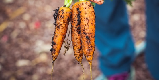 Carrots with dirt on them.