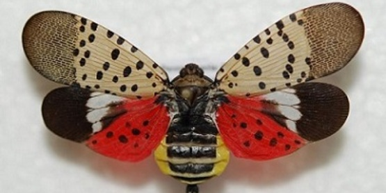 spotted lanternfly (Lycorma delicatula) adult(s)