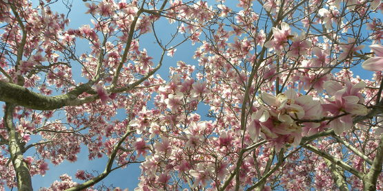Magnolia in full bloom.