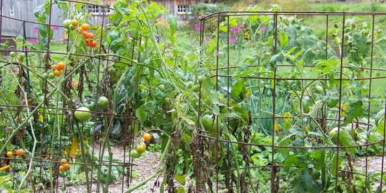 rebar tomato cages