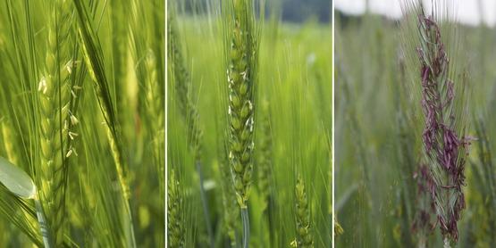 barley wheat and rye flowering