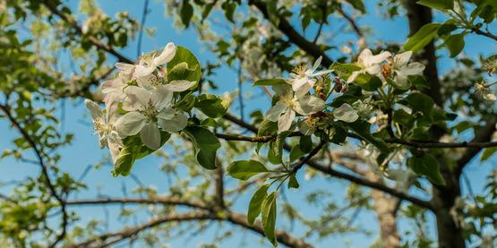 Canton Apples. Canton, NY
