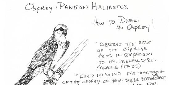 osprey how to draw step 1 marine artsea