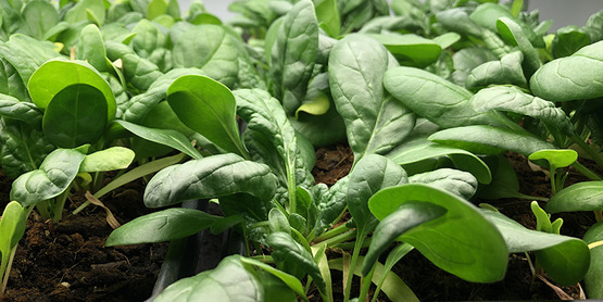 Willsboro Central School grows spinach for their cafeteria.