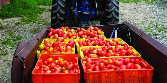 Harvested tomatoes at Mandeville Farm, Spencer NY