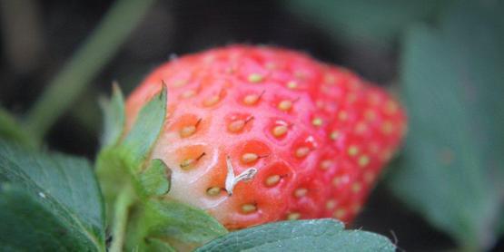 strawberry, Yates County NY