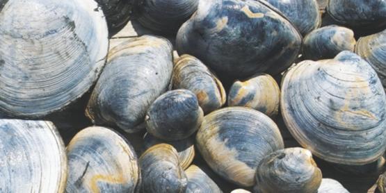DEI clam fast facts (2)