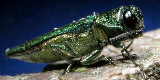 Adult emerald ash borer, Agrilus planipennis Fairmaire, 1888