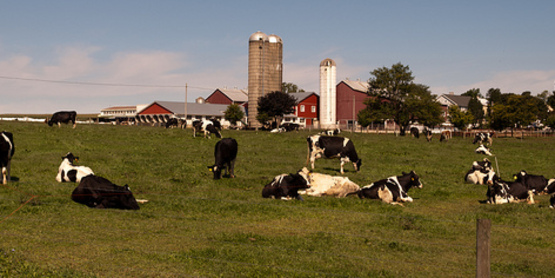 cows on a farm, in front of red bar with silos