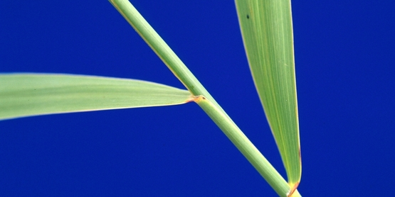 Common Reed stem and leaves