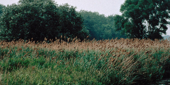 Common Reed infestation