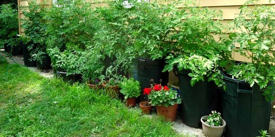 Tomato plants growing in garbage cans, July.