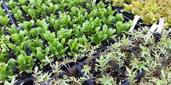 Colorful lettuces and hardy kale vegetable starts at the Plantsmen Nursery