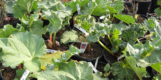 rhubarb plants in pots from Ort Family Farm