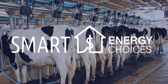 dairy cows being milked electronically