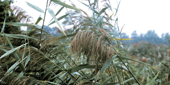 Common Reed seed head