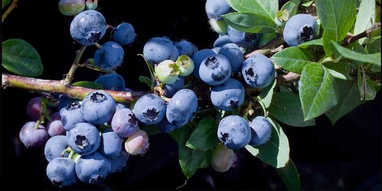 "University of Minnesota blueberry #5451, released in 2009 as the variety named ""Superior"", growing at the U of MN, North Central Research and Outreach Center, Grand Rapids,"