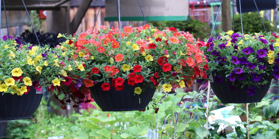 Calibrachoa hanging basket in greenhouse