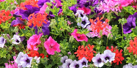 geraniums, petunias, flowers