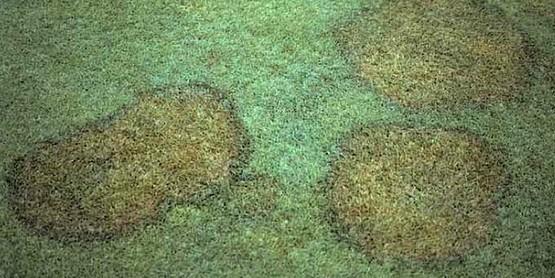 Brown Spot Fungus in Lawns
