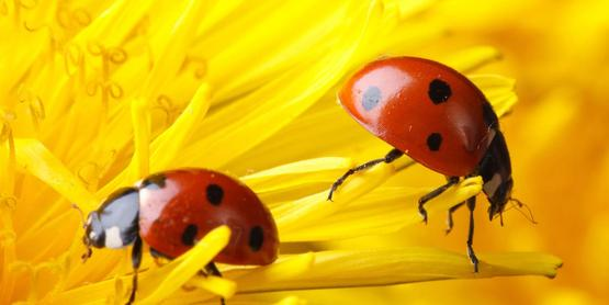 two ladybugs on a big yellow flower