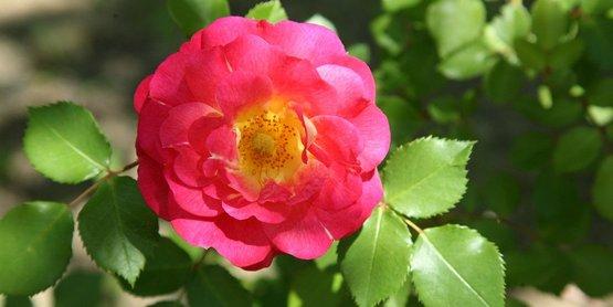 Roses are rewarding to grow