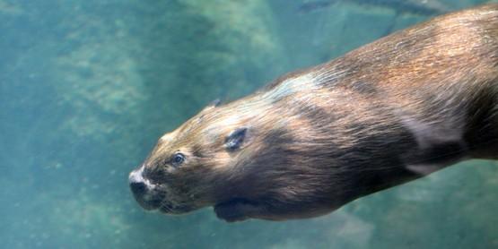 beaver underwater