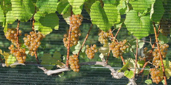 Albarino grapes on the vine, 2014
