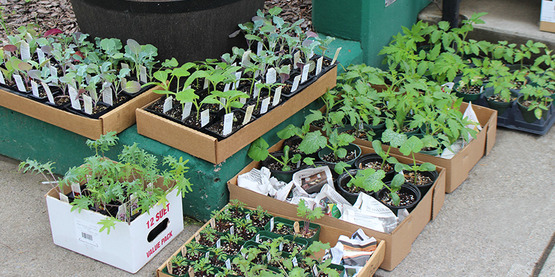 Vegetable seedlings donated by Robin Bem for the seed distribution event