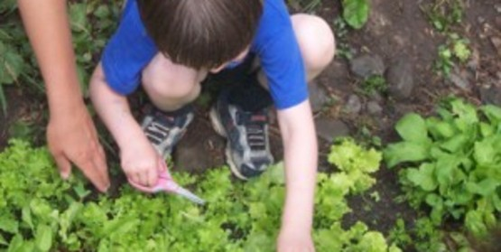a child picking lettuce in a garden