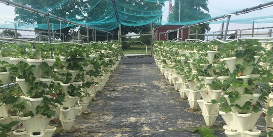 Summer Breeze Strawberries Farm grew hydroponic strawberries for local school districts in 2019.