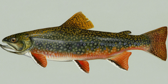 brook trout by U.S. Fish and Wildlife Service
