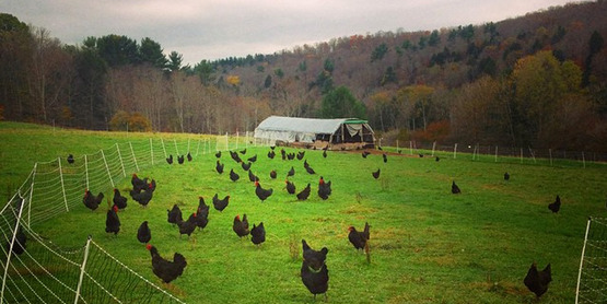 Pastured poultry / chickens