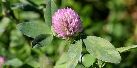 red clover (Trifolium pratense) L.; cover crop