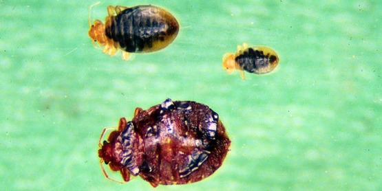 bed bug life cycle,