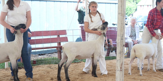 Chenango County Fair 4-H Sheep show 2019