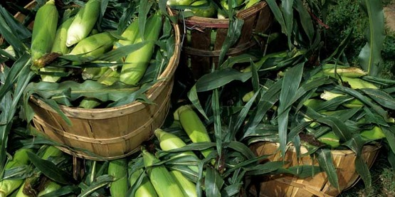 Harvested corn sits in baskets at a farmers market in 1999. USDA photo by Ken Hammond.  20120106-OC-AMW-0791