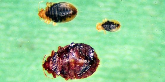 bed bug life cycle, Cimex lectularius