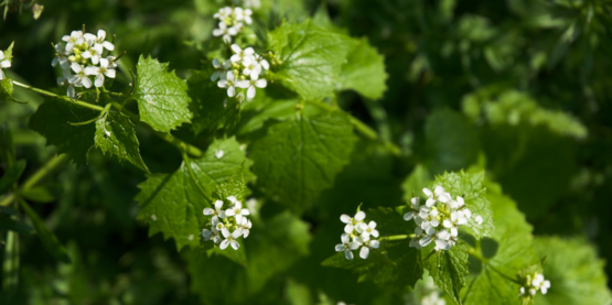garlic mustard invasive