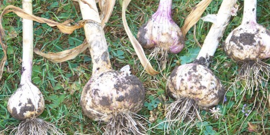 Freshly harvested garlic.