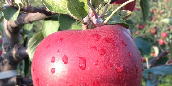 Apple at Cornell Orchards