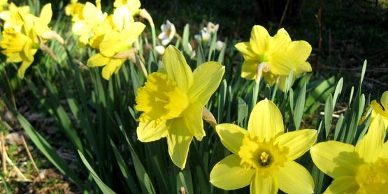 daffodils in bloom