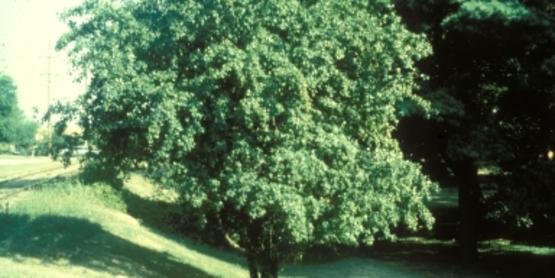 Common Buckthorn Tree
