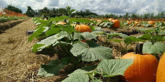 orange pumpkins growing in a sunny field