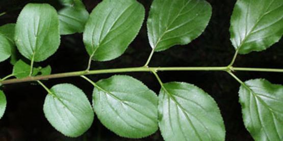 Common Buckthorn foliage