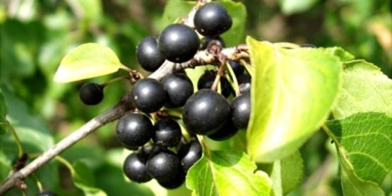 Common Buckthorn Fruit